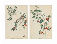 study of roses and rosehips; study of redcurrants (pair) by ludwig pfleger