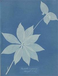 mediola arginica (bangor, us), 1852-1854 by anna atkins