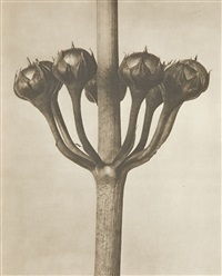 untitled (plant studies) (44 works) by karl blossfeldt