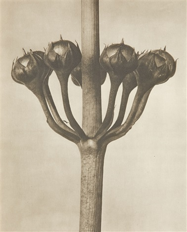 untitled plant studies 44 works by karl blossfeldt