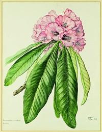 rhododendron magnificum, brodick (castle) by elizabeth cameron