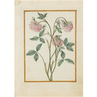 red clover by jacques le moyne (de morgues)