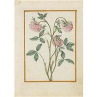 red clover by jacques le moyne (de morgues)
