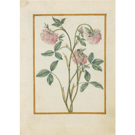 red clover by jacques le moyne de morgues