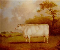 the white shorthorn heifer