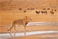 lion and wildebeest at the ayob river, botswana by kim donaldson