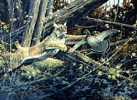 bobcat hunting grouse by gregory f. messier