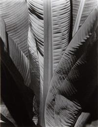 banana plant by imogen cunningham