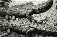 alligators, auckland zoo by peter peryer