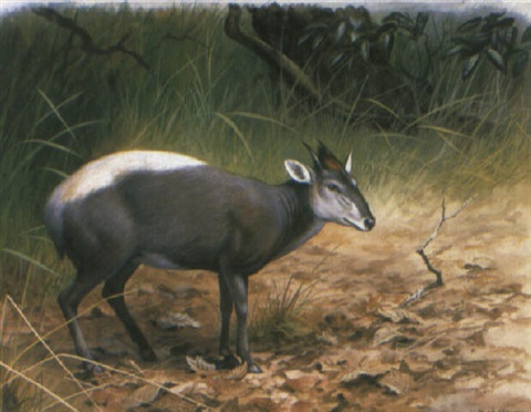 a yellow backed duiker by george morrison reid henry