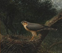 an goshawk in its nest by niels peter rasmussen