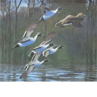 group of pintails by peter markham scott
