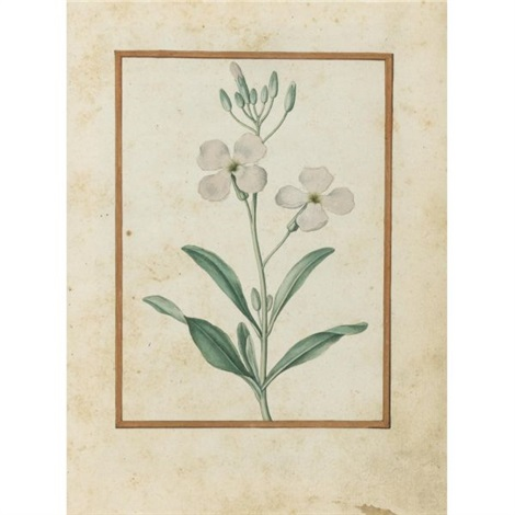 gilliflower matthiola incana by jacques le moyne de morgues