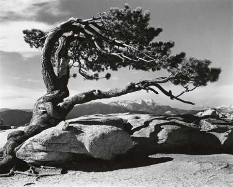 jeffrey pine sentinel dome yosemite by ansel adams