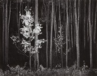 aspens, northern new mexico by ansel adams