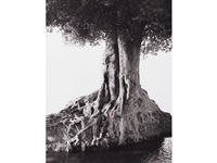 nangini giant fig tree - full view, africa by herb ritts