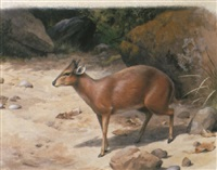 a red duiker by david morrison reid henry