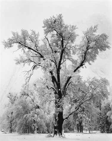oak tree snowstorm yosemite national park by ansel adams