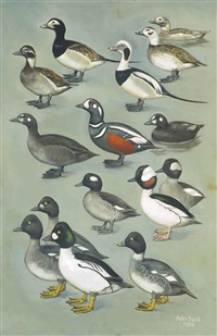 bufflehead ducks, common goldeneyes, long-tailed and harlequin ducks by peter markham scott