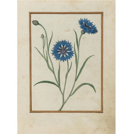 cornflower by jacques le moyne de morgues