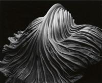cabbage leaf by edward weston