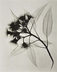 eucalyptus, an x-ray by dain tasker