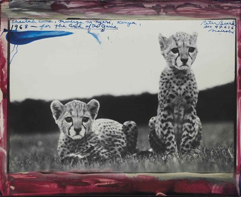 cheetah cubs by peter beard