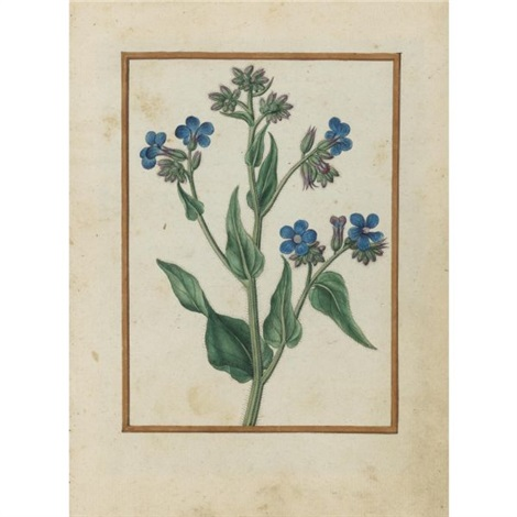 bugloss by jacques le moyne de morgues