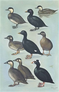 black, white-winged and surf scoters by peter markham scott