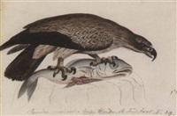 a lesser spotted eagle, aquila pomarina by heinrich gottlieb reichenbach