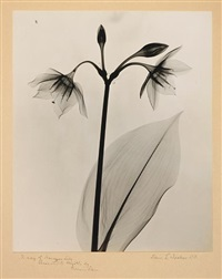 x-ray of amazon lily by dain tasker