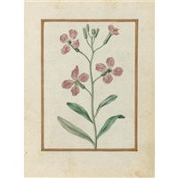 gilliflower, matthiola incana by jacques le moyne (de morgues)