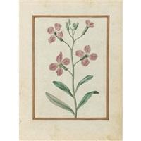 gilliflower, matthiola incana by jacques le moyne (de morgues)