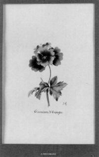 géranium d'espagne by jean-joseph reichlen