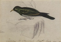 a malay green cuckoo by heinrich gottlieb reichenbach
