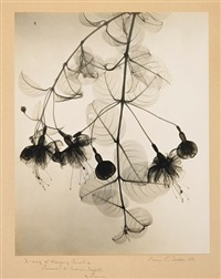 x-ray of hanging fuschia by dain tasker