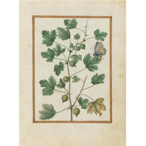 gooseberry and butterfly by jacques le moyne de morgues