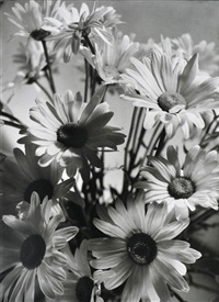 shasta daisies by olive cotton