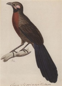 a red breasted cona by heinrich gottlieb reichenbach
