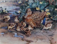 a mallard duck and her ducklings by winifred marie louise austen