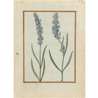 lavender by jacques le moyne (de morgues)