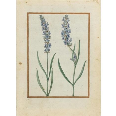 lavender by jacques le moyne de morgues