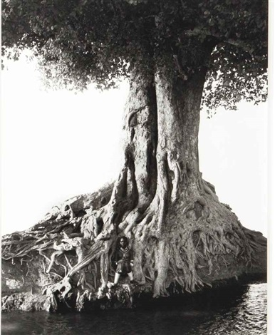 nangini giant fig tree full view by herb ritts