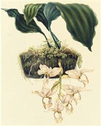 orchidaceae: stanhopiea oculata (lodd.) lindley by samuel holden