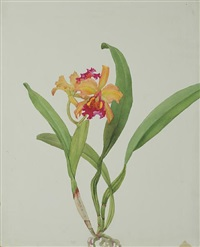 lc forminii orchid by andrey avinoff