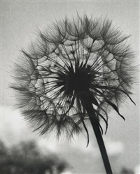 seed head by olive cotton