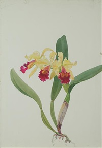 c. edith g. mclaine orchid by andrey avinoff