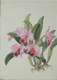 c. percivaliana orchid by andrey avinoff