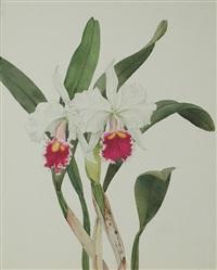c. trimos alba orchid by andrey avinoff