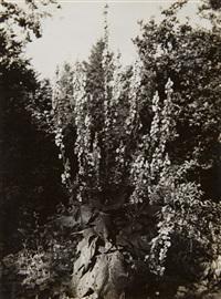 blütenstand einer königskerze (inflorescence of a mullein) by albert renger-patzsch